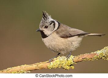 Crested tit (Lophophanes cristatus) - Crested tit on a twig...