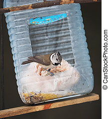 crested tit on a feeding trough