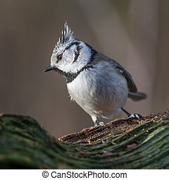 Crested Tit shows the crest on the old stub.
