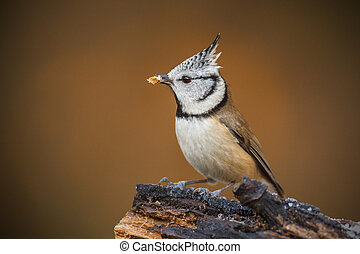Crested titwith mealworm