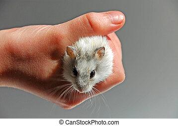 criança, hamster, mão