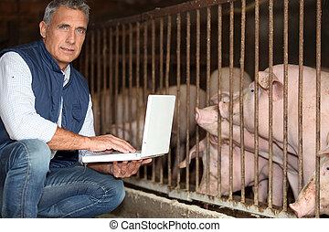 criando, porcos, homem