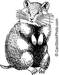 cricetinae, (hamster)