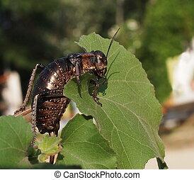 Cricket beetle on leaf, Bradyporus