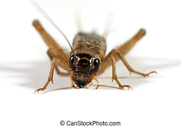 Cricket front view - A front view of a cricket shot on a...
