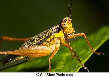 Cricket on a Leaf