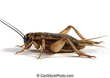 Cricket - A side view of a cricket shot on a white...