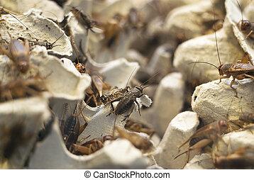 crickets, много