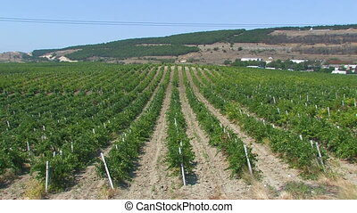 Crimean vineyard.