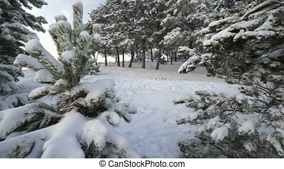 Crimean winter landscape snow covered forest. Snow-covered pine trees on a hill.