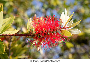 Crimson Bottlebrush (Callistemon citrinus) in the Athens ...
