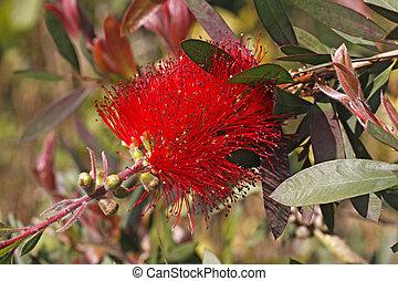 Crimson bottlebrush, Callistemon - Crimson bottlebrush, ...