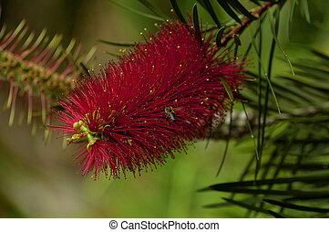 Crimson Bottlebrush plant