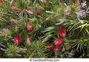 Crimson Bottlebrush plant - Beautiful Callistemon citrinus ...