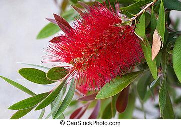 Crimson Bottlebrush - red fluffy bush flower