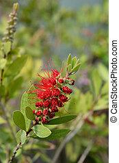 Crimson bottlebrush Splendens - Latin name - Callistemon ...