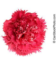 single crimson carnation isolated on white background