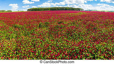 Crimson clover field panorama - Panoramic photo of a red ...