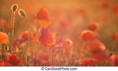 Crimson flowers growing in a beautiful area in Ukraine in...