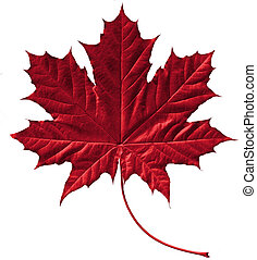 Crimson maple leaf - Close-up of a perfect crimson maple ...