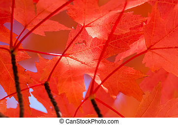 Crimson Maple Leaves Exhibiting the Elegance of Autumn