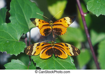 Crimson-patched Longwing Butterfly - Longwing Butterfly...