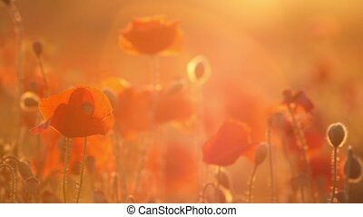 Crimson poppies waving in a dreamy field in Ukraine in the...