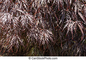 Crimson Queen Japanese Maple (Acer palmatum var. dissectum 'Crimson Queen') is low-branching, dwarf tree with a delicate, weeping form. The foliage holds its beautiful crimson color throughout summer and can turn bright scarlet in autumn. Sun-tolerant in cooler regions, where sunlight intensifies ...