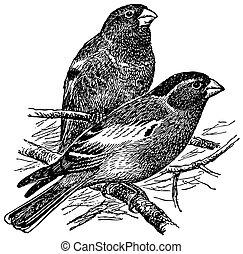 crimson-winged, 鳥, アトリ