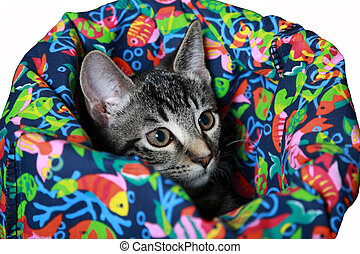 Tabby kitten in a crinkle bag cat toy. A crinkle bag is a fabric covered crinkled cellophane that makes noise each time the cat moves. Isolated on white. Kitten is part Siamese and has amazing eyes with a hint of blue around the pupils.
