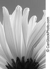 crisantemo, blanco, bw
