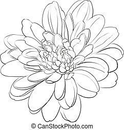 crisantemo, flor blanca, fondo.