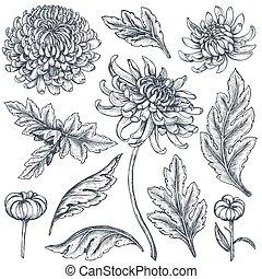 crisantemo, flores, conjunto, dibujado, mano