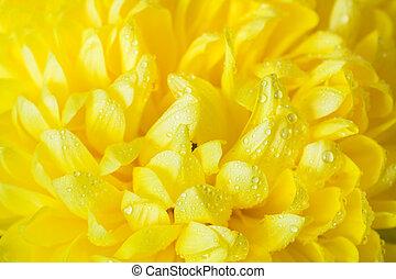 crisantemo, goccioline, giallo, acqua, petali, close-up.