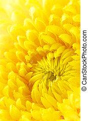 crisantemo, primo piano, giallo