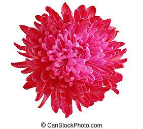 crisantemo, rosso