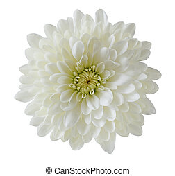 crisantemo, solo, blanco