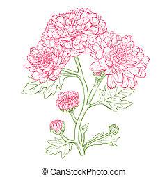 crisantemo, vector, flower.