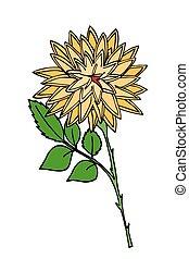 crisantemo, white., flower., isolato