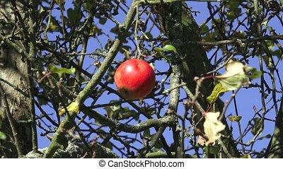 Crisp red apple on a branch