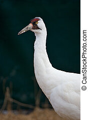 Critically Endangered Whooping Crane, Grus americana