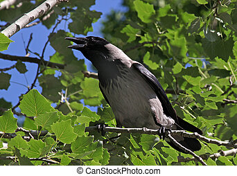 croaking crow on branch of tree
