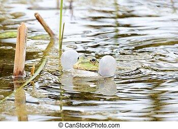 Croaking Frog - Croaking frog with swollen vocal sacs