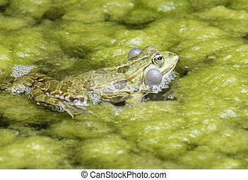 Croaking Frog - Croaking frog with swollen vocal sacs