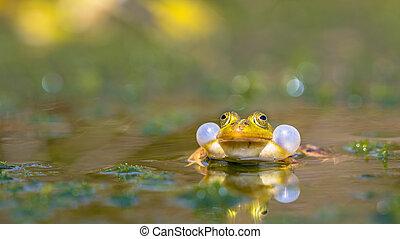 Croaking Green frog - Rare Pool frog (Pelophylax lessonae)...