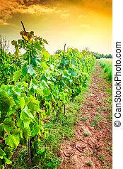 Croatia - vineyard on Istrian peninsula. Agriculture on red soil.