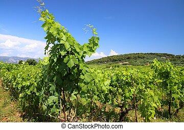 Croatia vineyard summer
