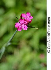 Croatian pink flower - Latin name - Dianthus giganteus...