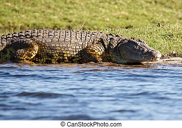 Croc - Chobe River, Botswana, Africa - Crocodile - Chobe...