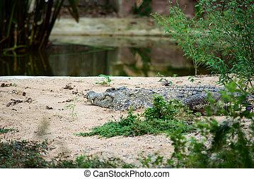 croccodile, シャム